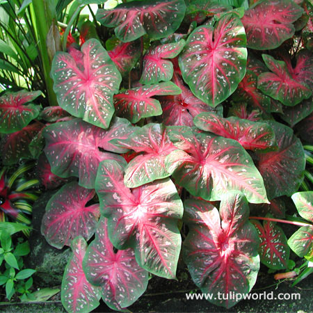 Red Flash Caladium - 22125