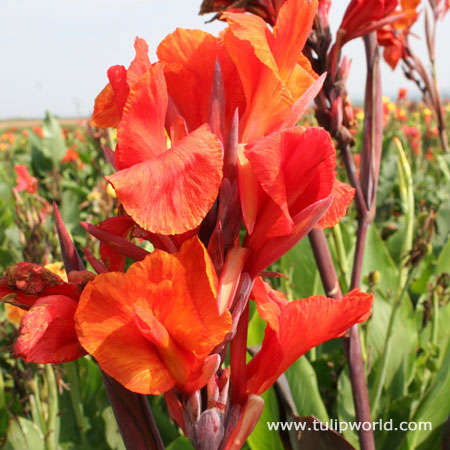 Red King Humbert Tall Canna