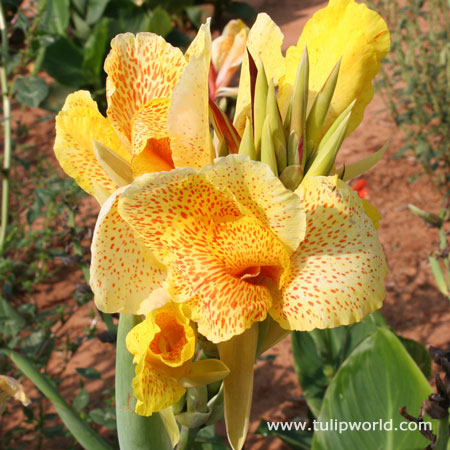 Yellow King Humbert Tall Canna - 23110