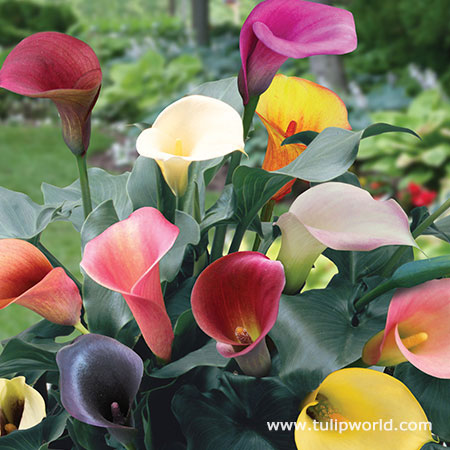 Mixed Hybrid Calla Lily Super Pack