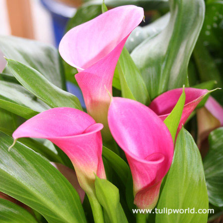 Garnet Glow Calla Lily
