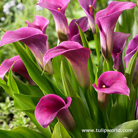 Purple Sensation Calla Lily
