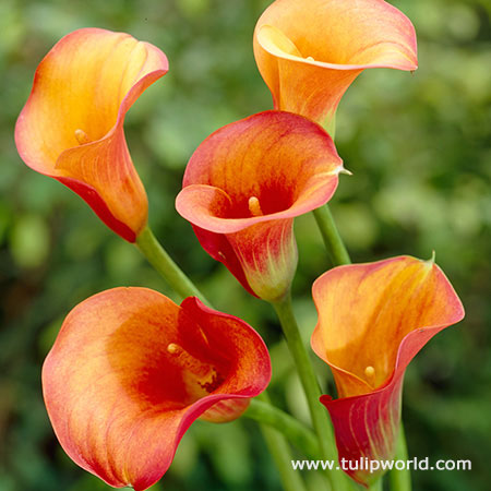 Passion Fruit Calla Lily