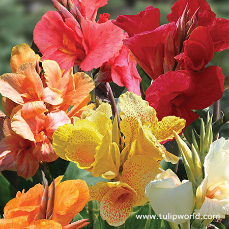 Tall Canna Lily Mix