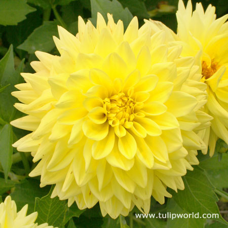 Kelvin Floodlight Dinnerplate Dahlia
