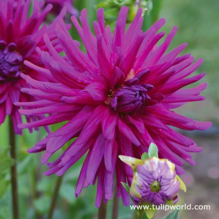 Purple Gem Cactus Dahlia