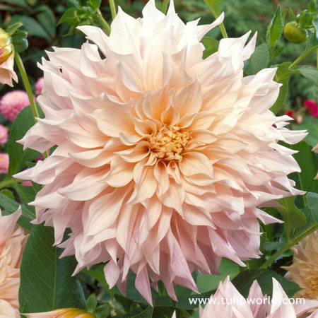 Cafe Au Lait Dinnerplate Dahlia