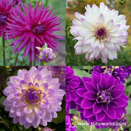 Orchid Visions Dahlia Collection