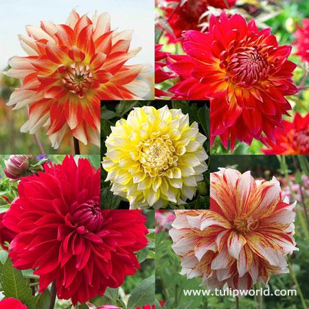 Luminous Dahlia Garden Collection