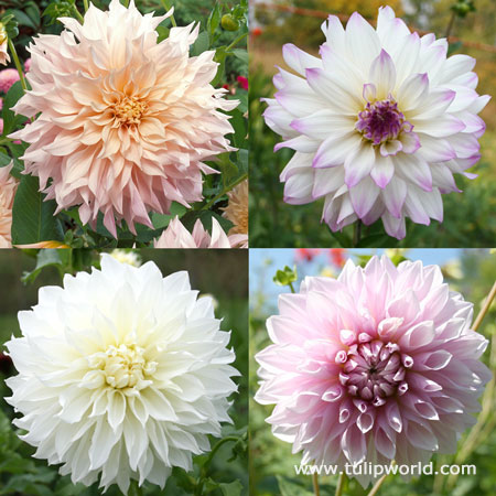Blushing Bride Dahlia Collection