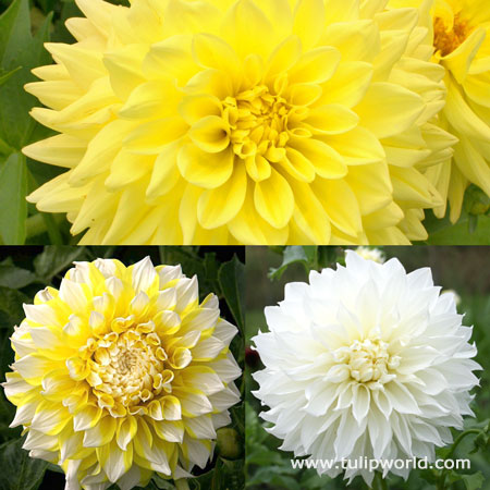 Sunny Side Up Dahlia Collection