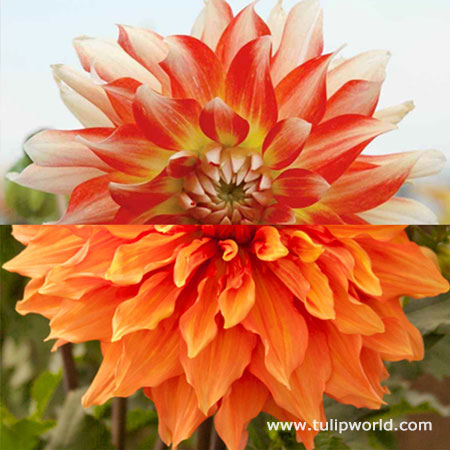 Glowing Embers Dahlia Collection