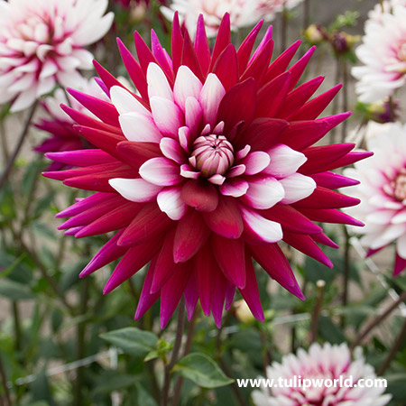 Rebeccas World Dahlia