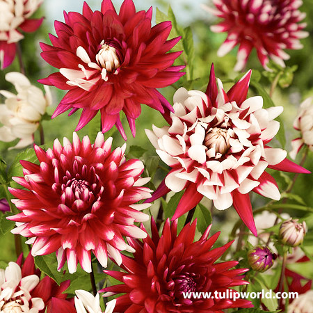 Shades of Red Dahlia Blend