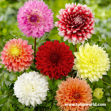 Fubuki Mixture Dahlias