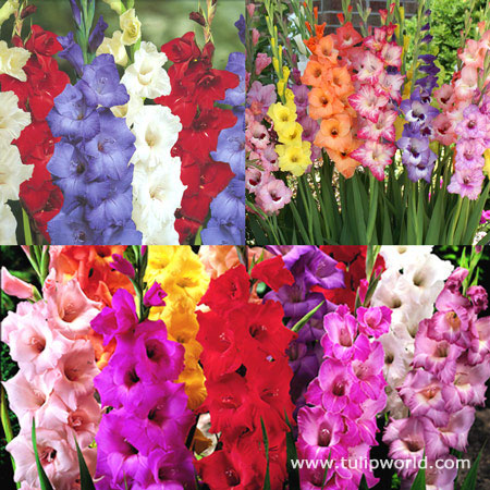 Supreme Gladiolus Collection