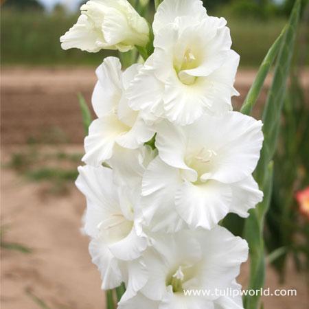 Solist Gladiolus