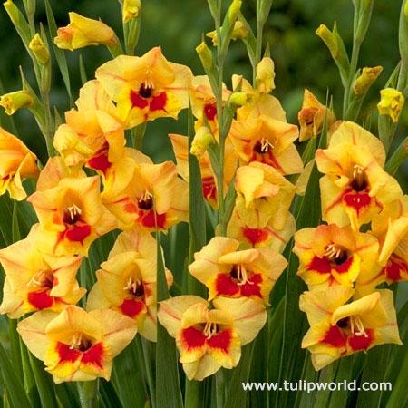 Jester Gladiolus