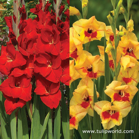 Happy Jester Gladiolus Collection