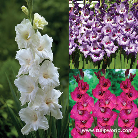 Violaceaous Gladiolus Collection