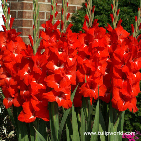 Traderhorn Gladiolus
