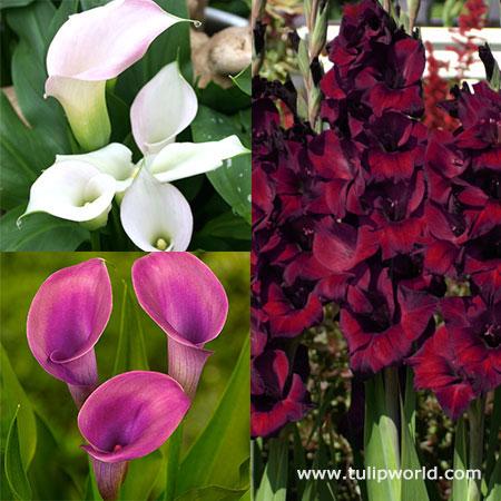 Midnight Amethyst Calla Gladiolus Collec
