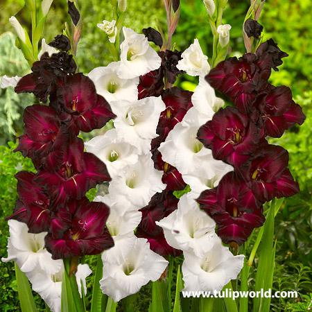 Black & White Gladiolus Blend