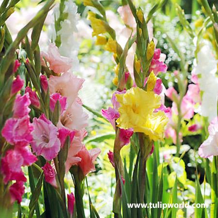 Diamonds & Pearls Gladiolus Blend