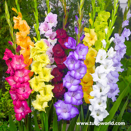 Tutti-Frutti Gladiolus Mixture