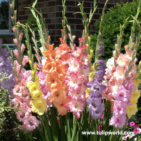 Candy Pastel Blend Gladiolus
