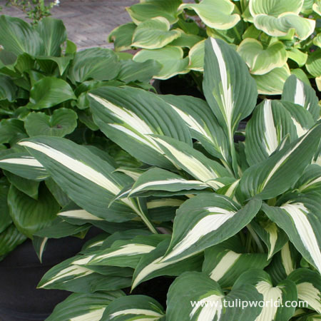 Mixed Hosta Super Pack