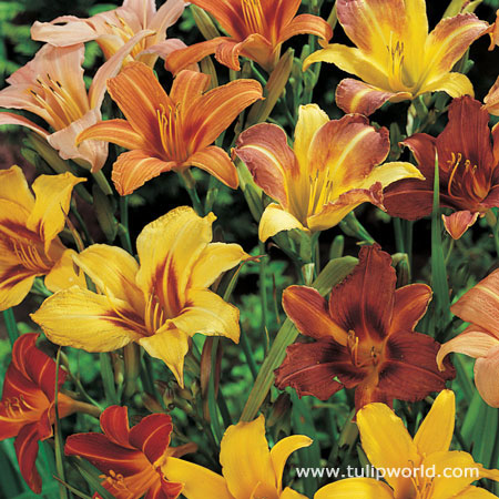 Mixed Daylily Super Pack