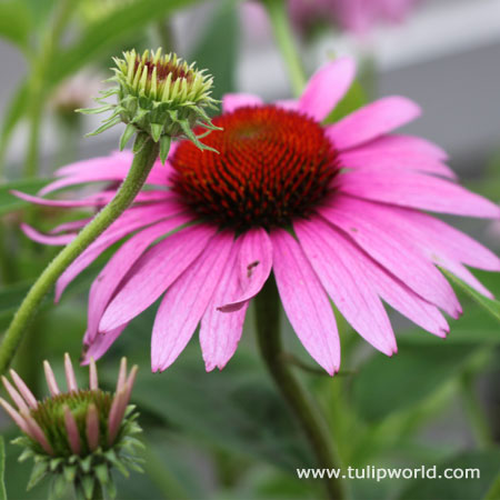 Magnus Purple Coneflower - 27161