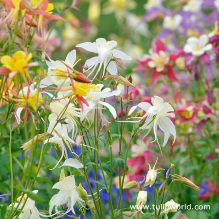 Mixed McKana Hybrid Columbine