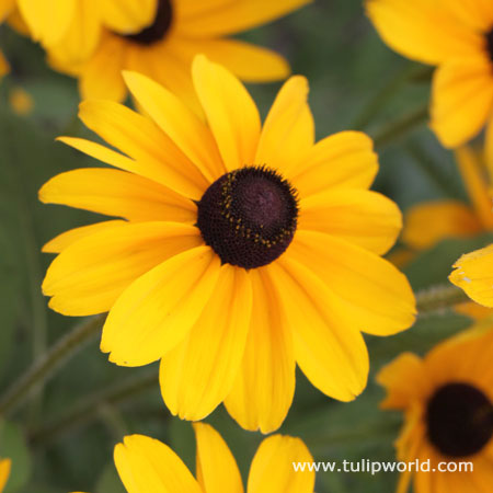 Black Eyed Susan - Rudbeckia Goldstrum