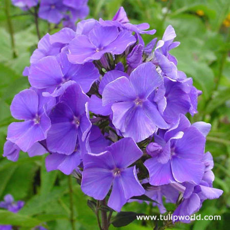 Blue Paradise Tall Phlox