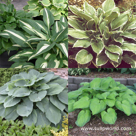 Hooray for Hostas Collection