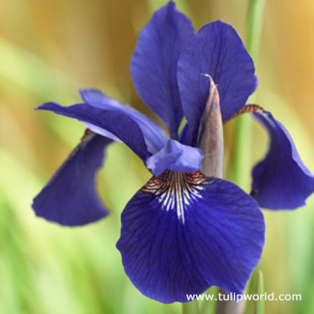 Caesars Brother Siberian Iris