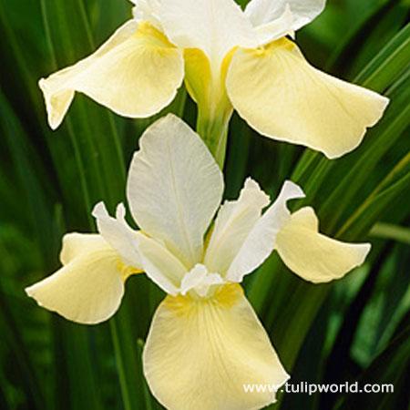 Moonsilk Siberian Iris