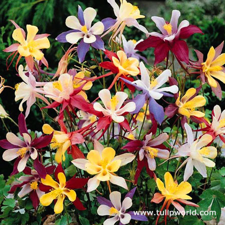 Winky Series Mixed Columbine