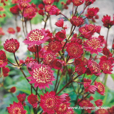 Ruby Cloud Astrantia (Masterwort)