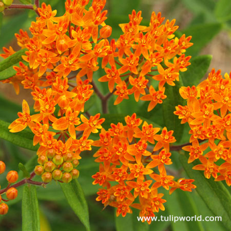 Gay Butterflies Butterfly Weed