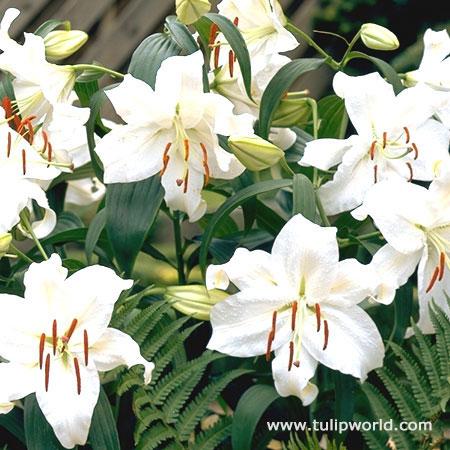 Casablanca Oriental Lilies Jumbo Pack