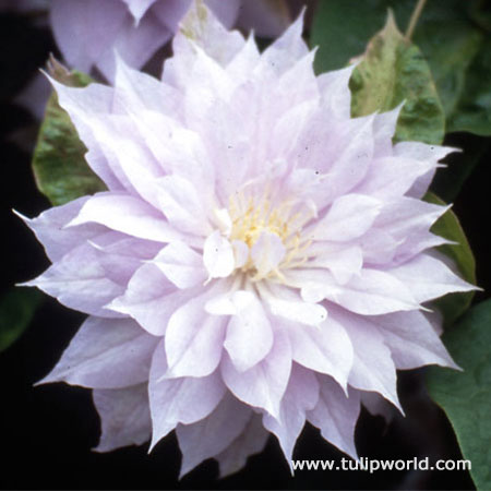 Belle of Woking Clematis Vine
