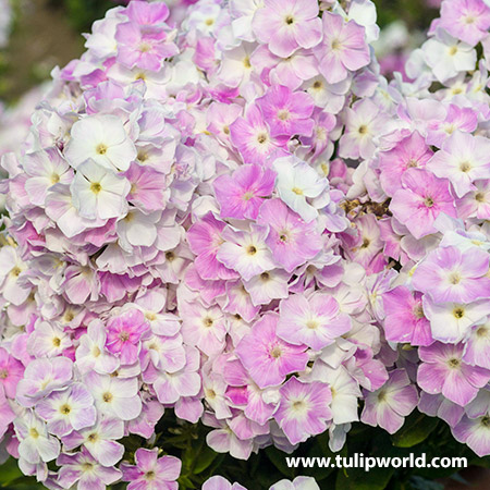 Cool Water Phlox - 27267