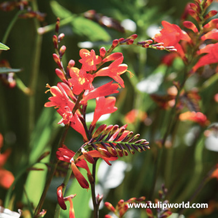 Glowing Ember Blend Crocosmia