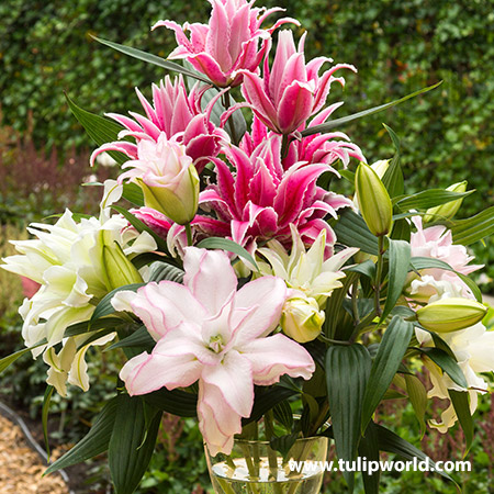 Roselily Double Oriental Lily Mix