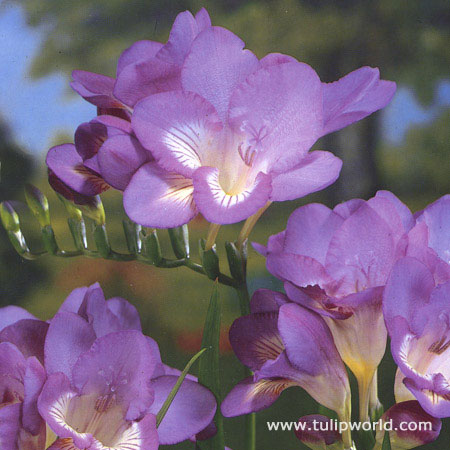 Royal Blue Freesia