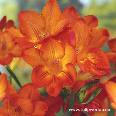 Orange Wonder Freesia - 28125
