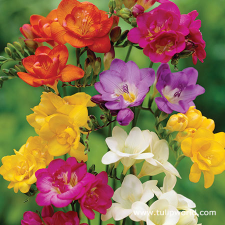 Mixed Freesia Value Pack
